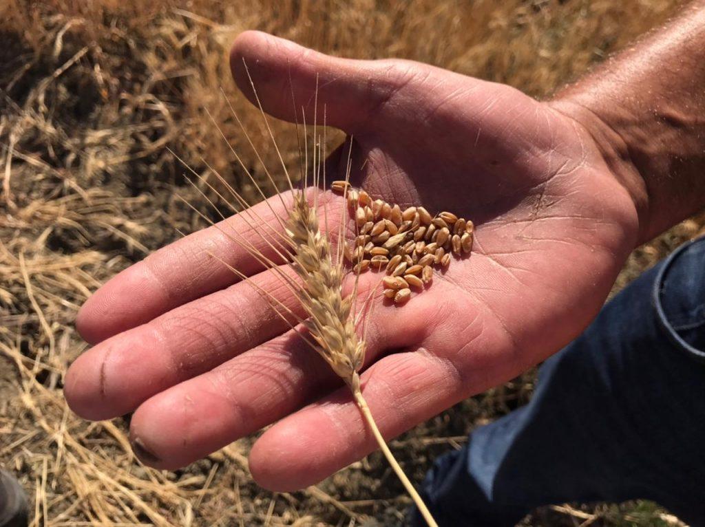 Recuperando tradiciones y productos de la tierra : cocinar con trigo